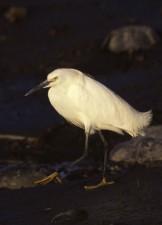 snowy, egret, bird, egretta, thula