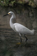 snowy, egret, up-close, bird, egretta, thula