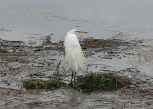 snowy, egret, egretta thula, looking, water