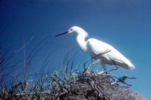 snowy, egret, nesting, ground