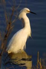 snowy, egret, standing, water, ergetta, thula