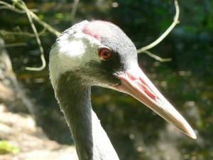 eurAsian, crane, grus, grus