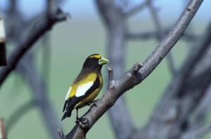 вечер, grosbeak, птица, дърво, разклонение