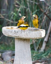 wieczorem, grosbeaks, ptaki, śpiewu, coccothraustes vespertinus