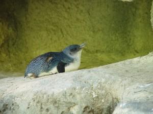 cổ tích, chim cánh cụt, perth, zoo