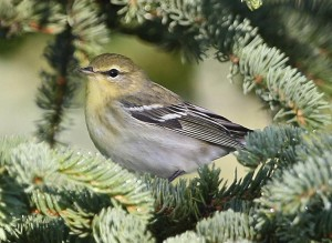 fall, plumage, blackpoll, warbler