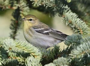 fall, plumage, blackpoll, warbler