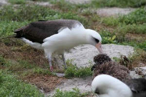 femenino, pájaro, alimentación, polluelo
