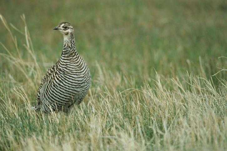 female, greater, prairie, chicken, standing, grass