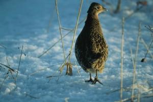 female, ring, necked, pheasant, bird, phAsianus, colchicus
