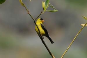American, goldfinch, branch