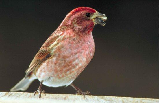 up-close, purple, finch, bird, standing, seed, beak, carpodacus cassinii