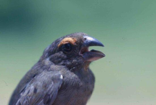 greater, antillian, bullfinch, mouth, open, loxigilla violacea