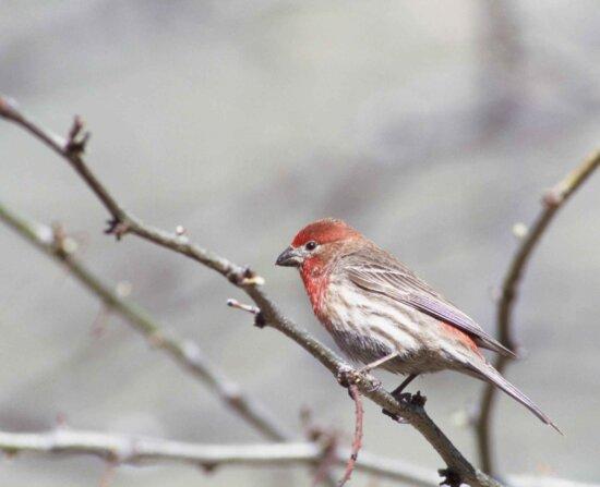 house, finch, bird, branch, carpodacus mexicanus