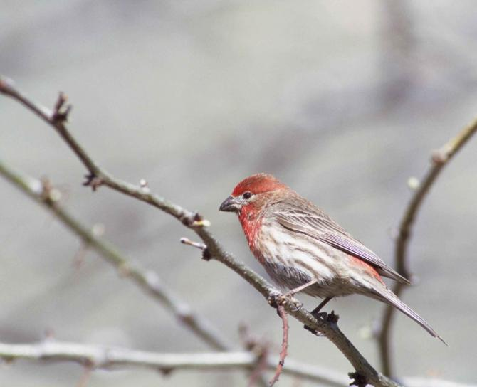 house, finch, bird, branch, carpodacus mexicanus