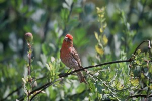 house, finch, carpodacus cassinii