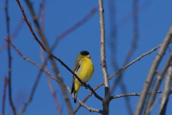 lesser, goldfinch, branch