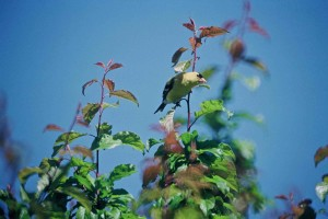 male, goldfinch, bird, carduelis, psaltria