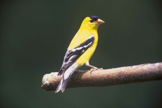 male, goldfinch, tree, branch, carduelis, tristas