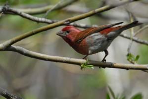male, purple, finch, branch