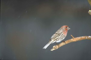 side, house, finch, bird, sitting, branch, carpodacus, mexicanus