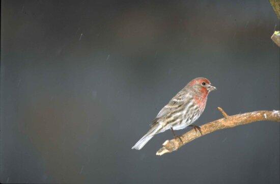 side, house, finch, bird, sitting, branch, carpodacus mexicanus