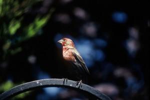 small, red, house, finch, carpodacus, cassinii