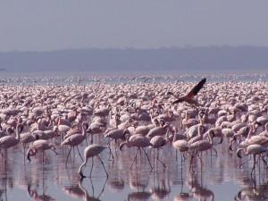 Американски, Фламинго, phoenicopterus ruber
