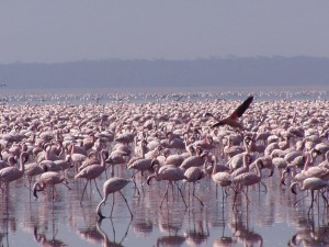 American, flamingoes, phoenicopterus, ruber