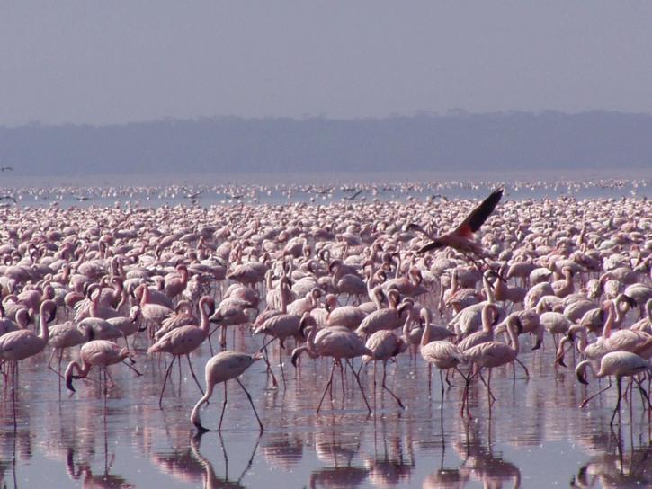 American, flamingoes, phoenicopterus ruber
