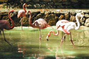bird, flamingo