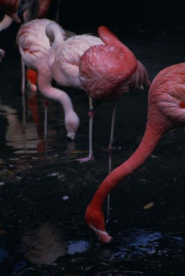 flamingos, birds, pink, phoenicopterus, ruber
