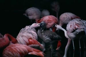phoenicopterus ruber, flamingos, birds