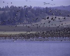 Flock, fugler, fly