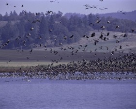 flock, birds, flying