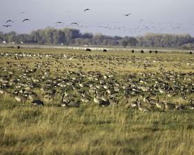 troupeau, la sauvagine, les oiseaux, marais, herbe