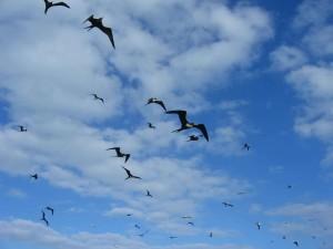 Fregatvogels, vliegen, overhead