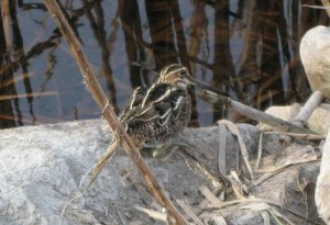gallinago, gallinago, common, snipe