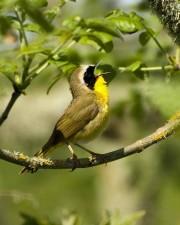 geothlypis, trichas, sings, yellowthroat