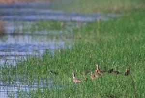 Flock, gemarmerd, godwit, shorebirds, verzamelen,