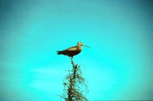 hudsonian, godwit