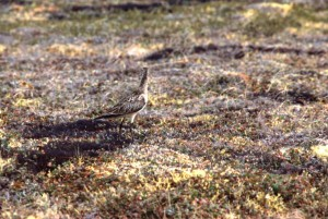limosa lapponica, bar, tailed, godwit, ground, bird