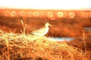 Limosa lapponica, vogel, zonsondergang