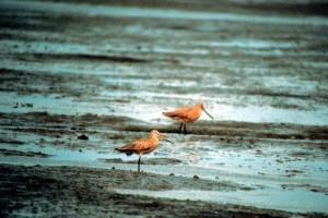 marbled, godwit, birds, limosa fedoa