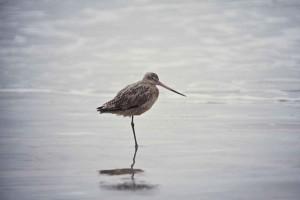 Oiseaux de la barge
