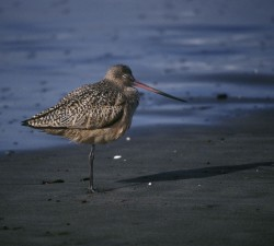 single, marbled, godwit, standing, beach