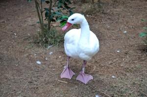 big, domestic white duck