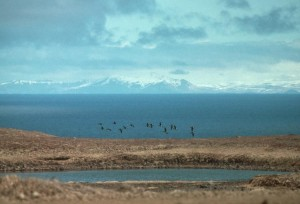 aleutian, cackling, geese, flock, flying, wetland
