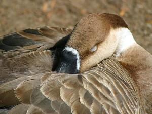 большой, красивый, гусь, гусей, перья