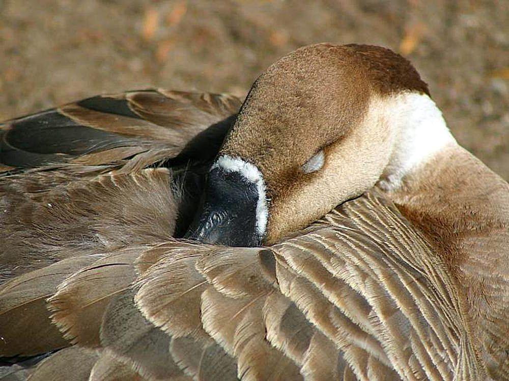 Как спят гуси